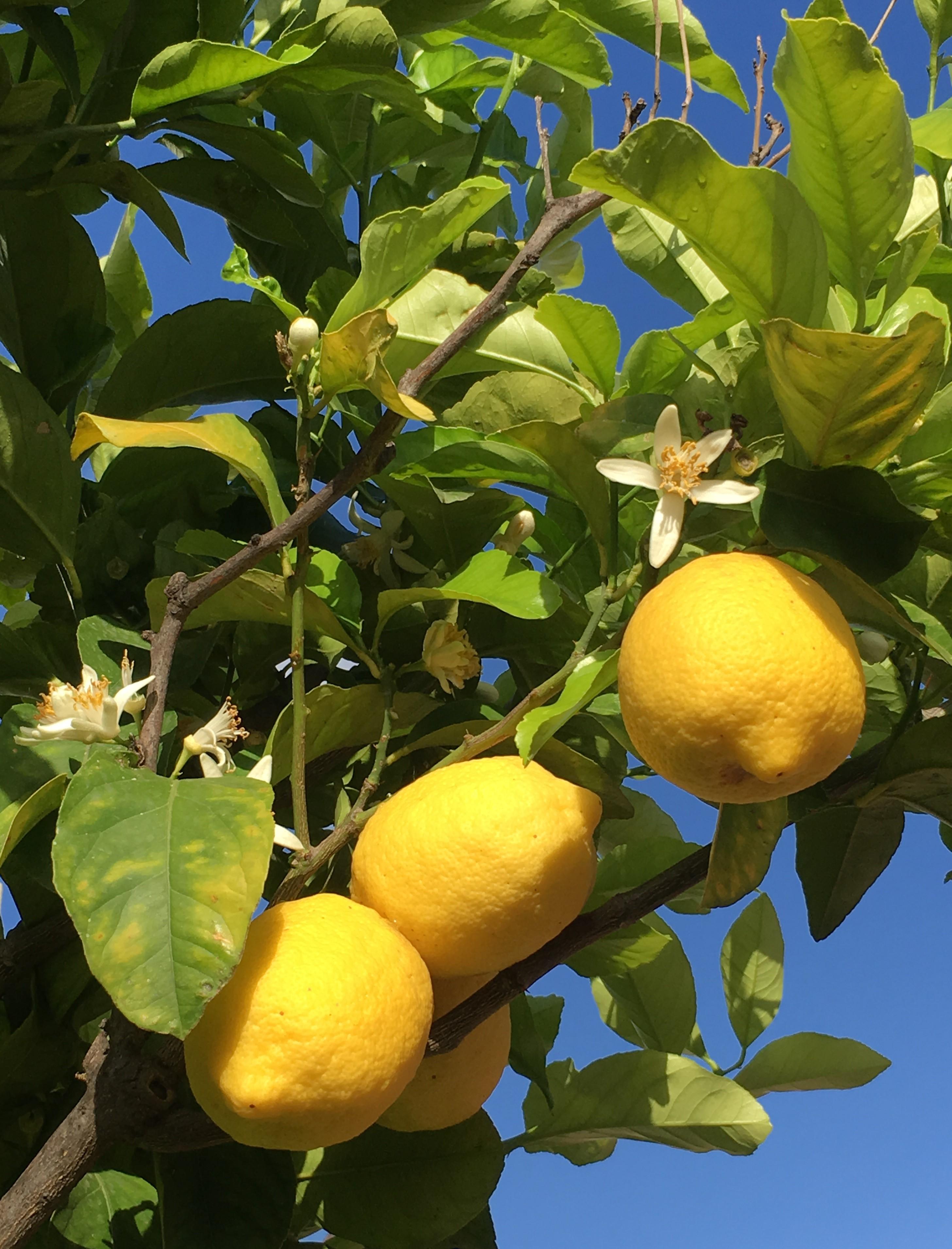 真っ青な空とレモンの木の下で朝食@The Inn at the Spanish Steps