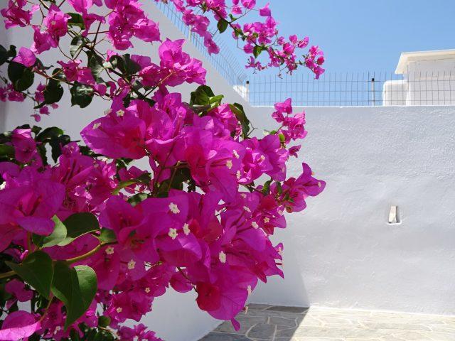ピンクのブーゲンビリア!可愛いシフノス島アルテモナスの町散策
